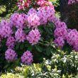 Rhododendron, télálló rhododendron 23. kerület